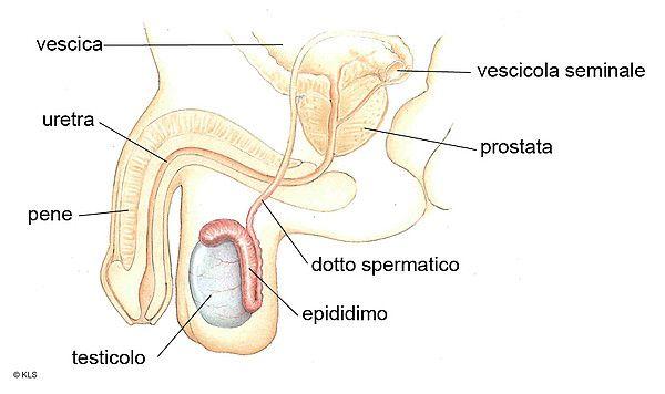 Il tumore del testicolo